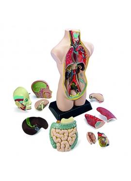 Set Anatomia 11 Pcs